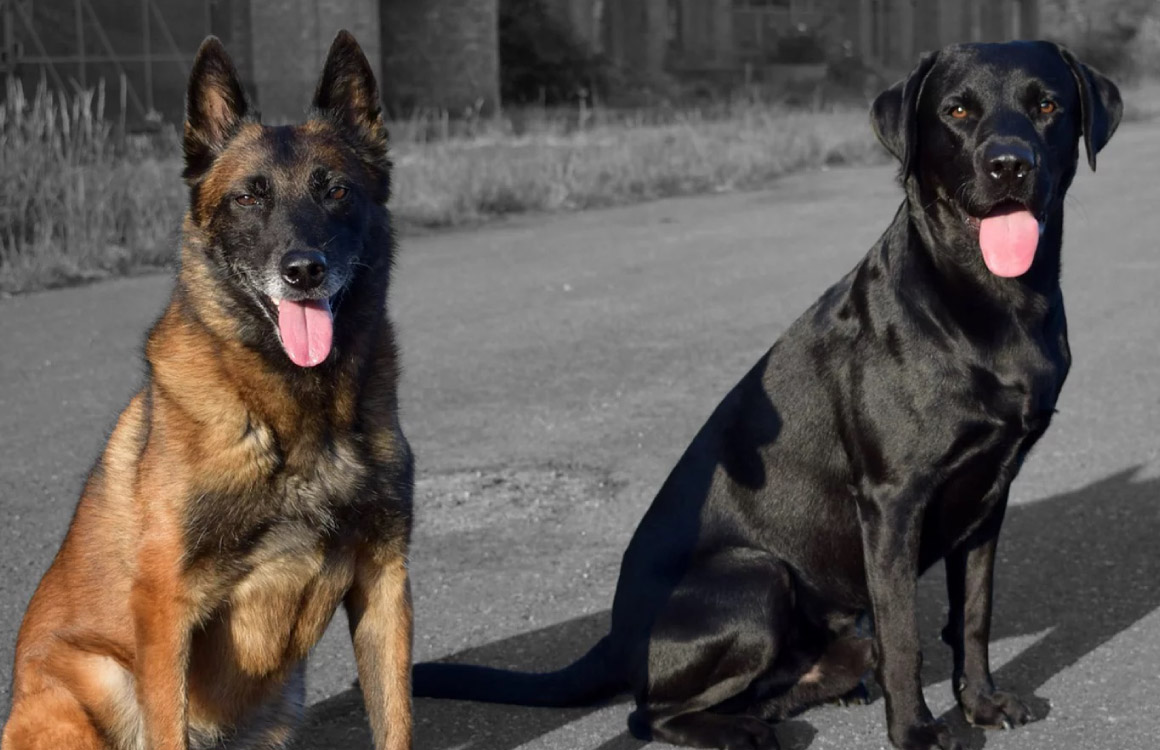 Our guard dogs are trained to detect intruders and to support our security officers as